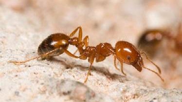 Hormiga de fuego. Su nombre científico, solenopsis invicta resulta especialmente significativo sobre la capacidad de adaptación al cambio de estos seres vivos
