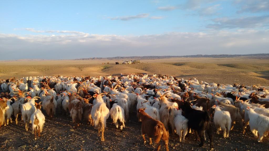 foto-goat